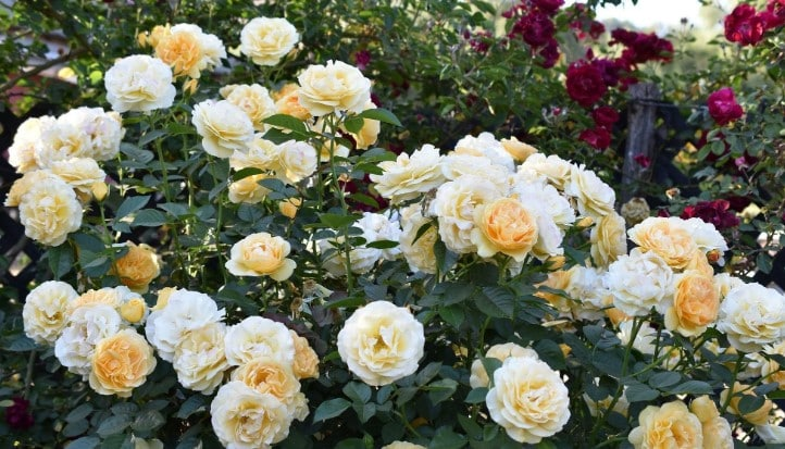 Best Fertilizer for Roses