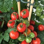 Best Soil for Tomatoes