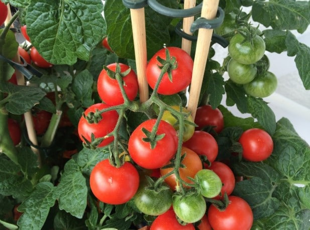 The Best Soil For Growing Great Tomatoes