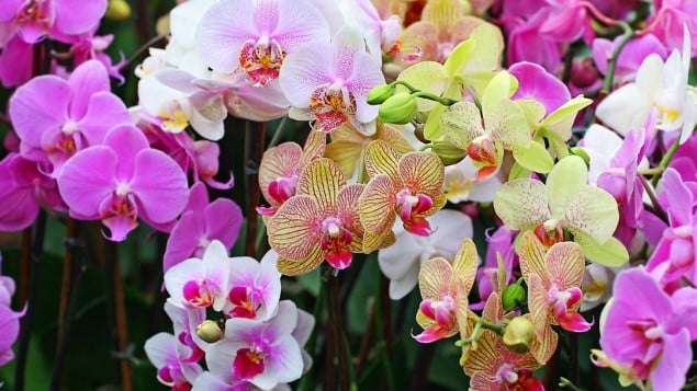When to Fertilize Orchids When Blooming?