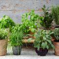 Best Potting Soil for Herbs in Pots & Containers