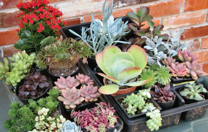 What's the Best Way to Water Succulents?