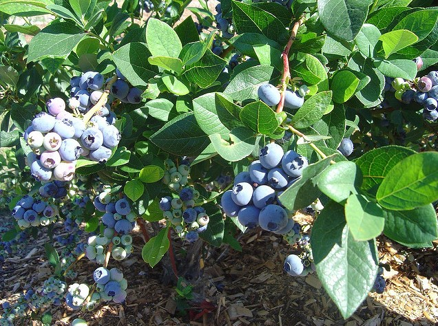 Best Fertilizer for Blueberries