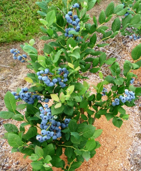 How to Fertilize Blueberries?
