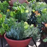 How to Plant Herbs in Pots?