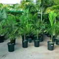 Best Fertilizer for Palm Trees
