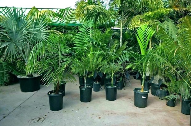 The Best Fertilizer For Palm Trees Needs - Indoor & Outdoor