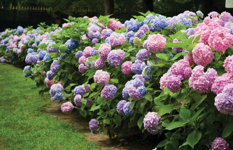 The Best Fertilizer For Hydrangeas to Encourage Beautiful Blooms