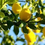 Finding the Best Fertilizer for Citrus Trees: Reviews and Helpful Information
