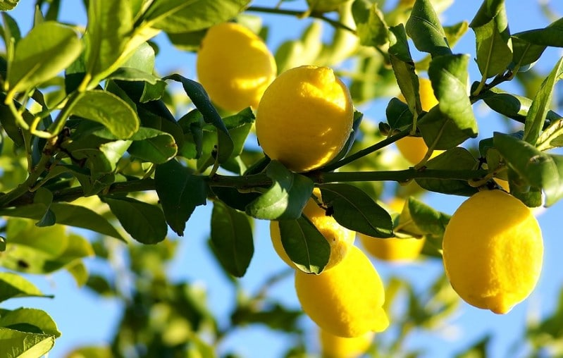 The Best Fertilizer Options For Your Citrus Trees