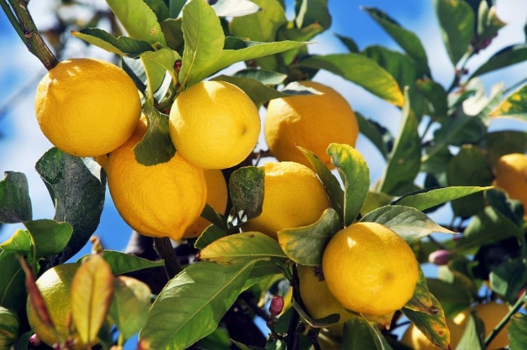 How Often to Fertilize Citrus Trees?