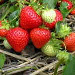 Best Fertilizer for Strawberries