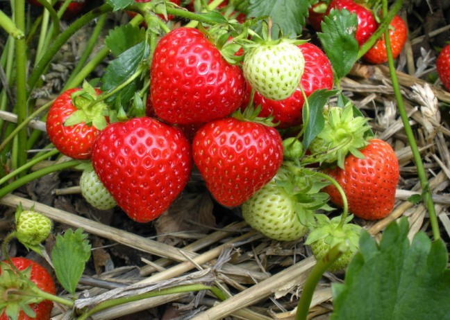 The Best Fertilizer For Strawberries - Strawberry Feeding Guides