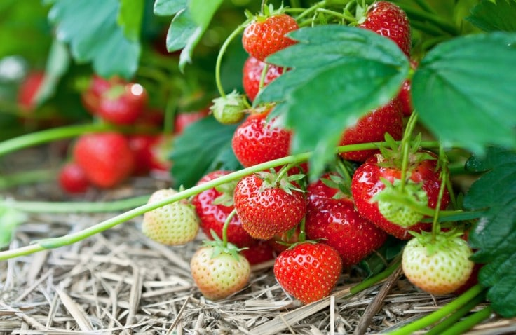What is the Best Fertilizer for Strawberries?