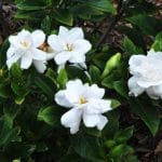 Best Fertilizer for Gardenias