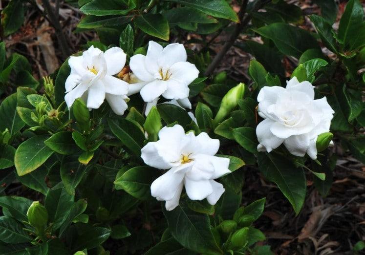 Best Fertilizer for Gardenias