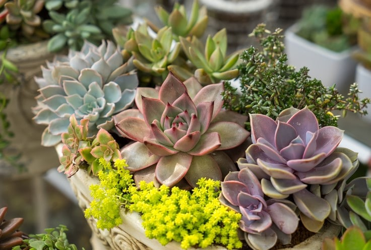 How often to Fertilize Succulents?