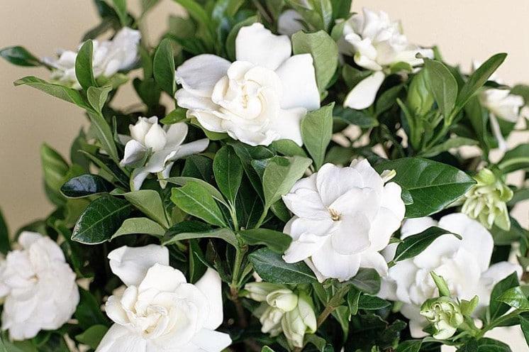 How to Fertilize Gardenias?