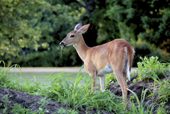 The Best Deer Repellent For Your Gardens, Flowers & Trees