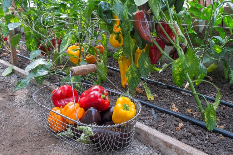The Best Fertilizer For Growing Peppers Plants