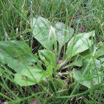 Best Broadleaf Weed Killer for Lawns