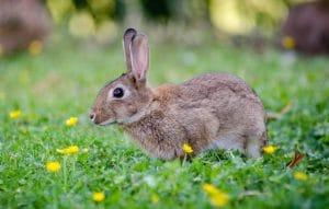 Best Rabbit Repellent