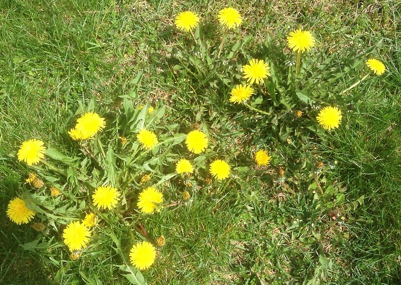 The Best Dandelion Killer That Won't Kill Your Grass