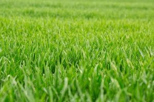 How to Make Lawn Green and Thick?