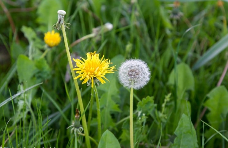The Life Cycle of a Dandelion