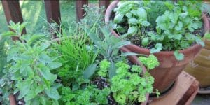 Herbs That Grow Well Together in the Same Pots and Containers