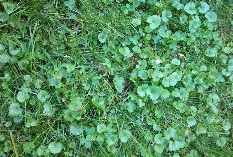 Ground ivy in lawn