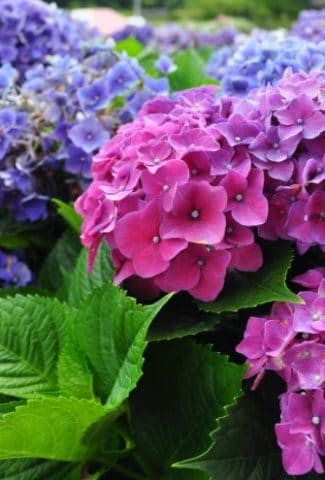 Fertilizing Hydrangeas - When and How to Fertilize Hydrangea