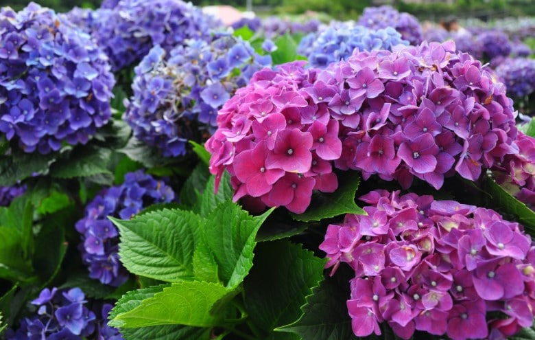 Fertilizing Hydrangeas - How and When