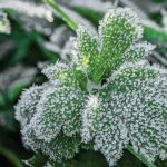 How to Protect Plants from Frost?