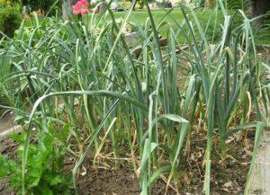 Planting Spring Garlic