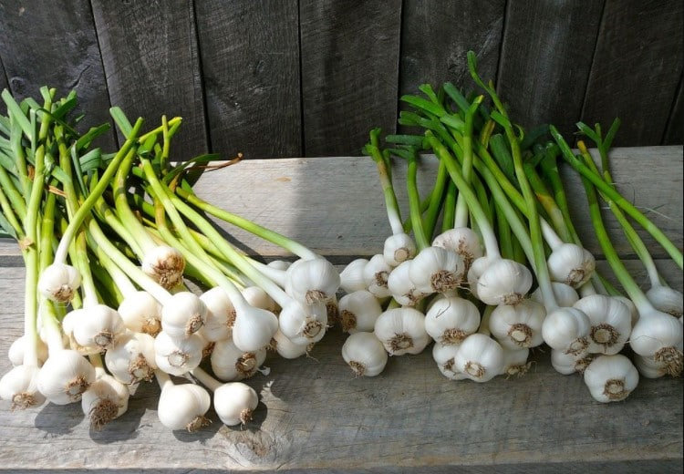 Spring Garlic Harvest Time
