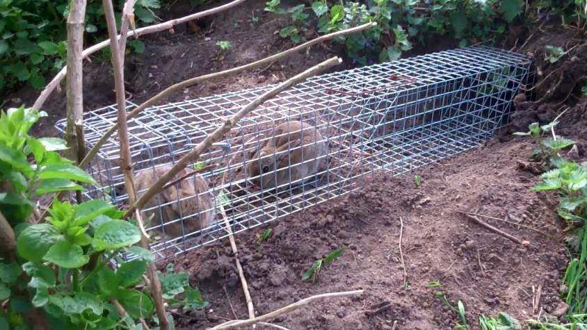 Trapping Rabbits