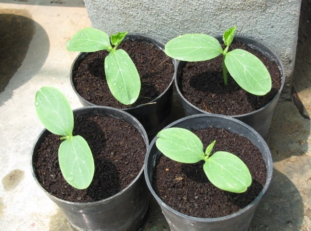 Care for Cucumber Seedlings