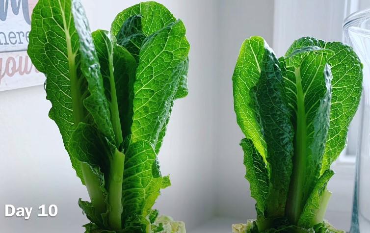 Day-10-Regrow-Lettuce