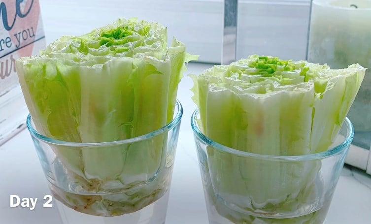 Day 2 Regrow Lettuce