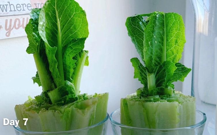 Day 7 Regrow Lettuce