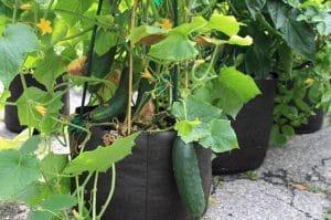 Gardening in Grow Bags