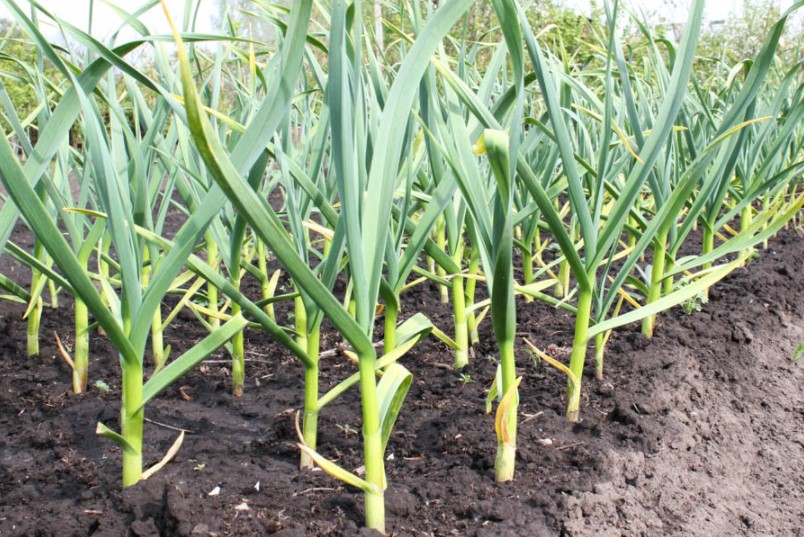 How Much Water Does Garlic Need?