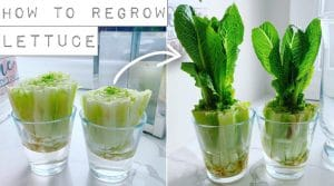 How to Grow Romaine Lettuce from Scraps?