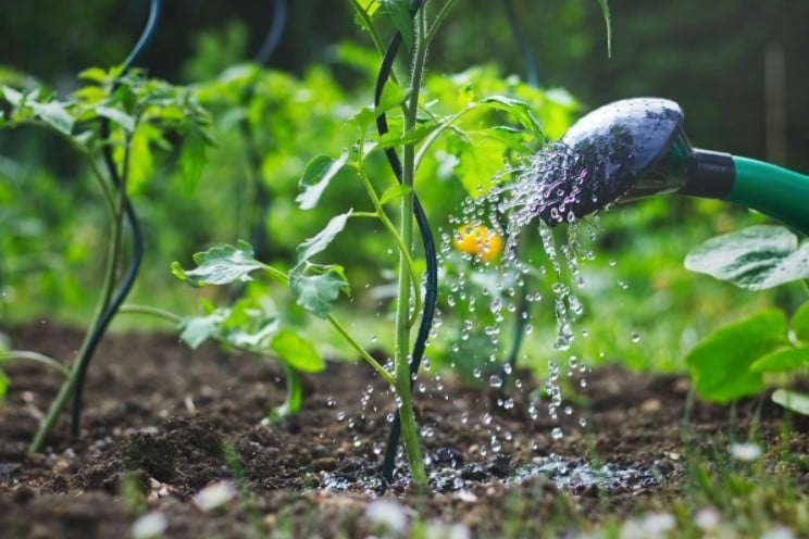 How Much Water Do Tomato Plants Need?