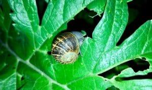 Snail Eating Leaves