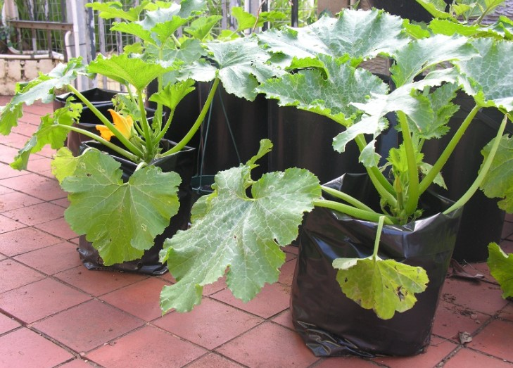 Zucchini in grow bags