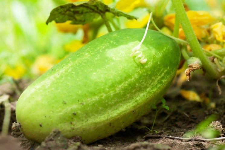 Choosing the perfect cucumber seed
