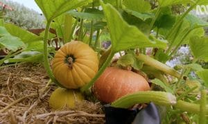 How Long Does it Take to Grow Pumpkins?