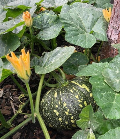mature pumpkin plant